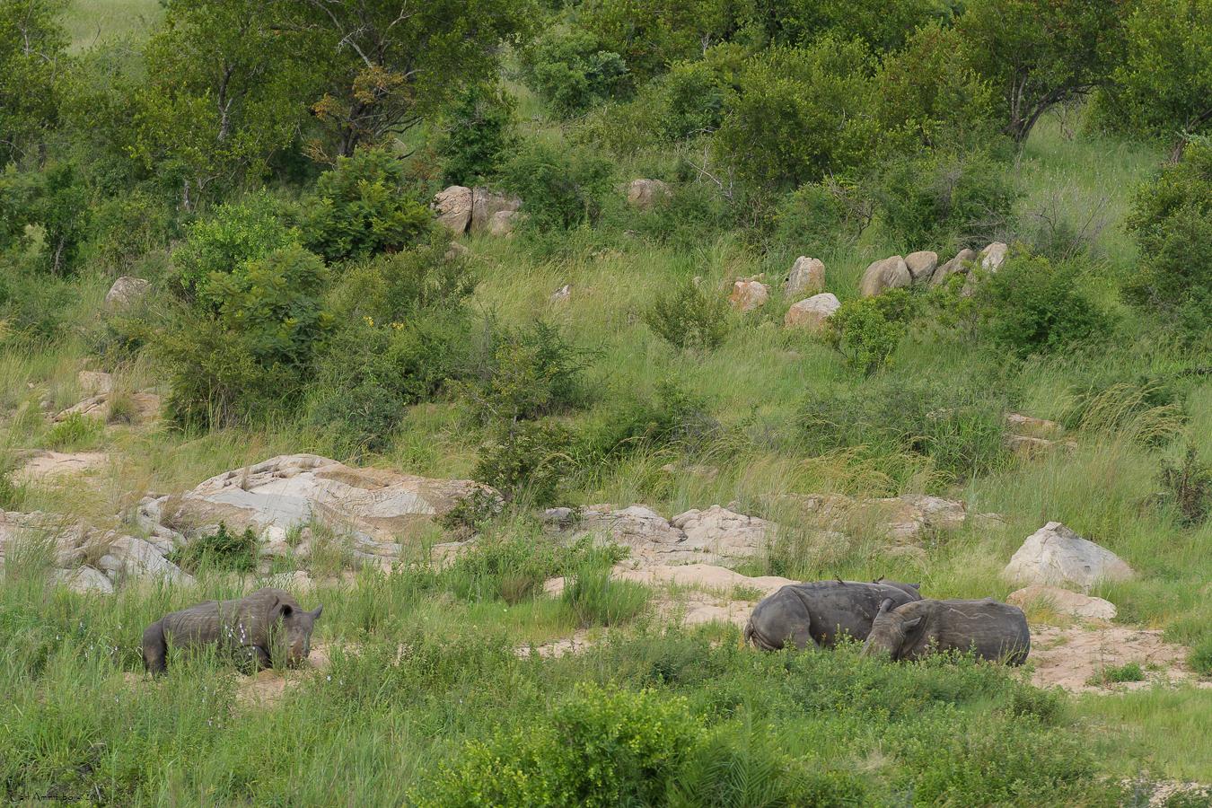 07 - 0218 - Næsehorn - 01 - Kruger