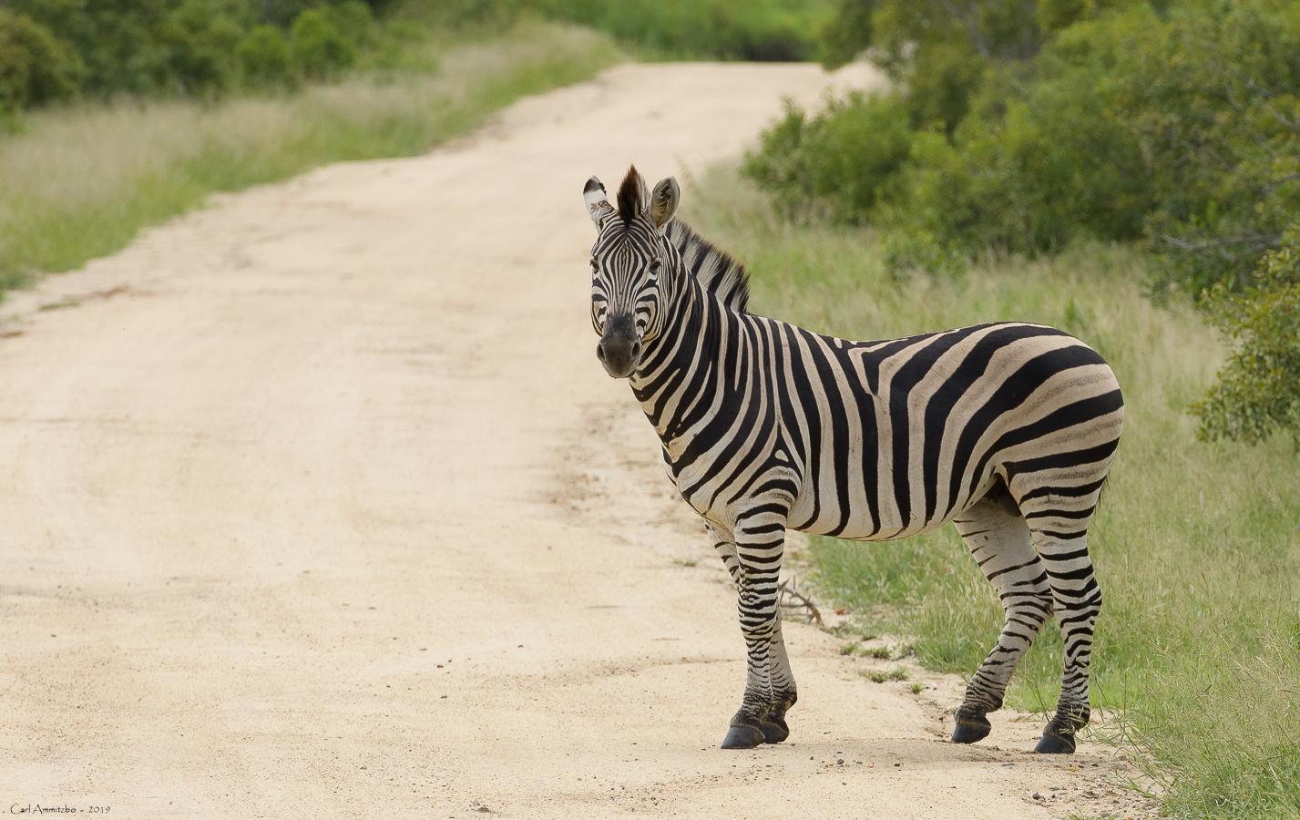 07 - 0218 - Zebra - 01 - Kruger