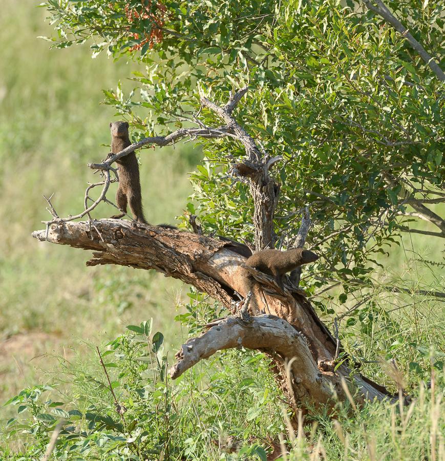 07 - 0221 - Dværgmangust - 02 - Kruger