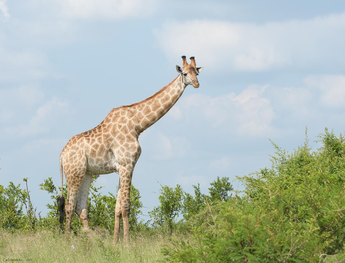 07 - 0221 - Giraf - 11 - Kruger