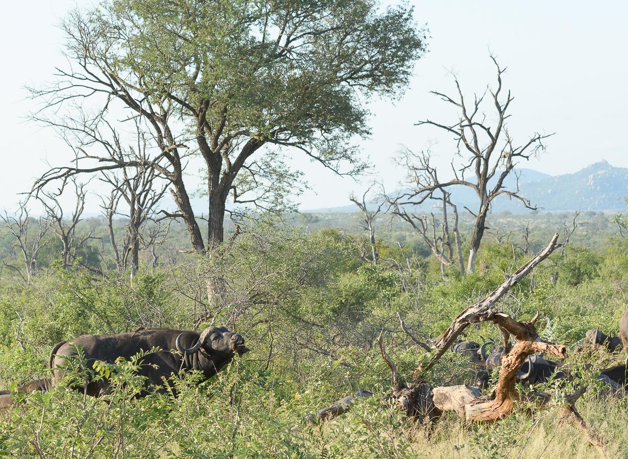 07 - 0221 - Kafferbøffel - 04 - Kruger