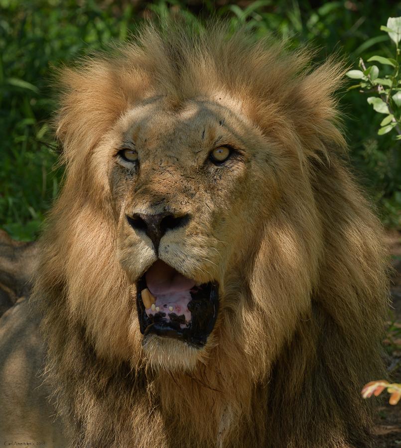 07 - 0221 - Løve - 01a - Kruger