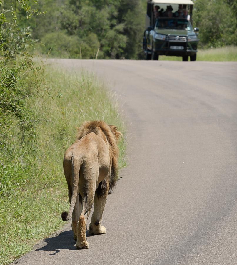 07 - 0221 - Løve - 03 - Kruger