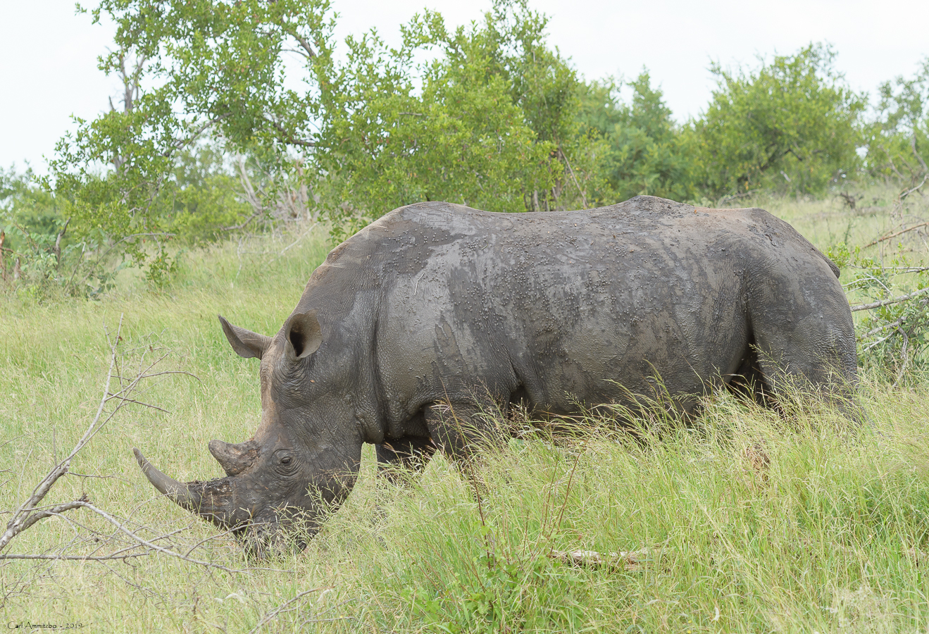 07 - 0221 - Næsehorn - 31 - Kruger