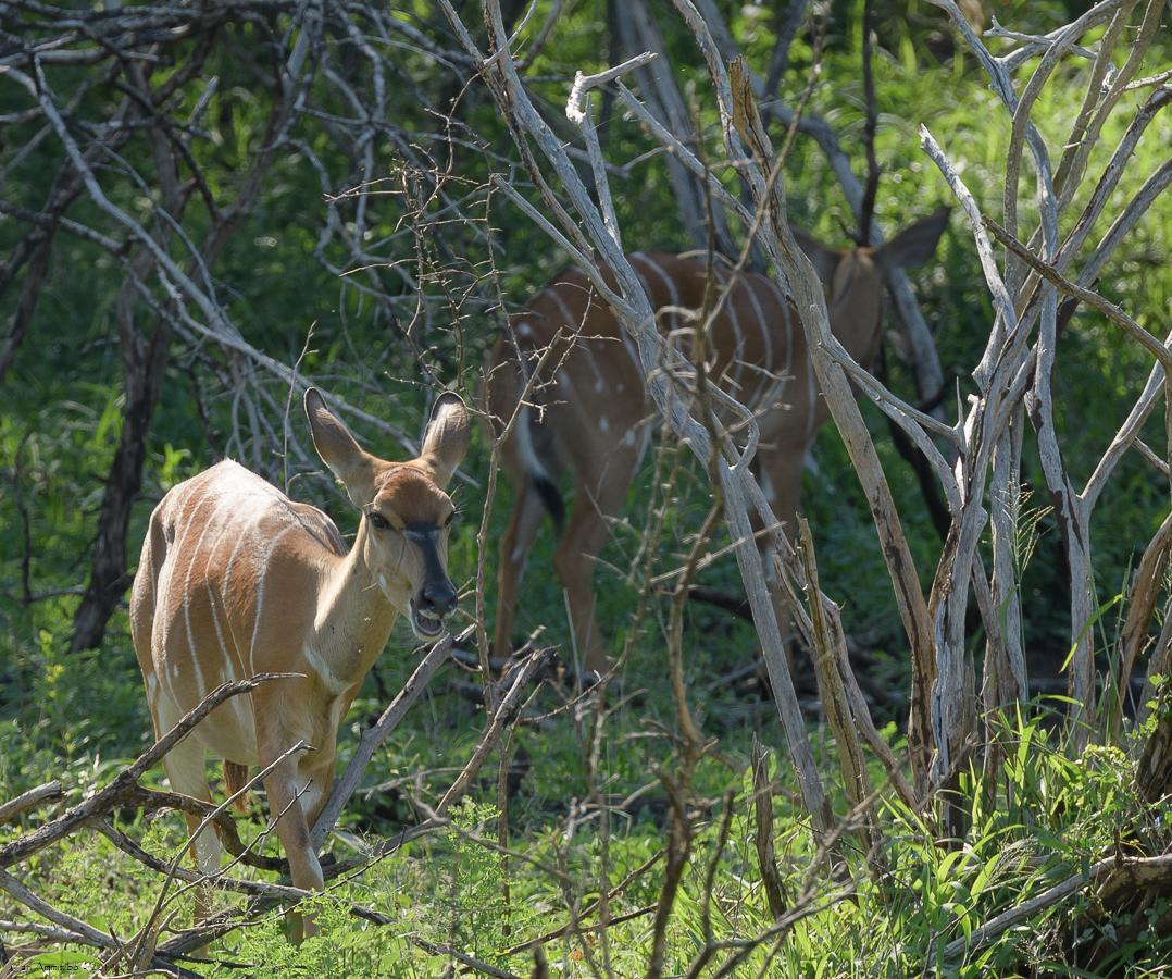07 - 0221 - Nyala - 01 - Kruger