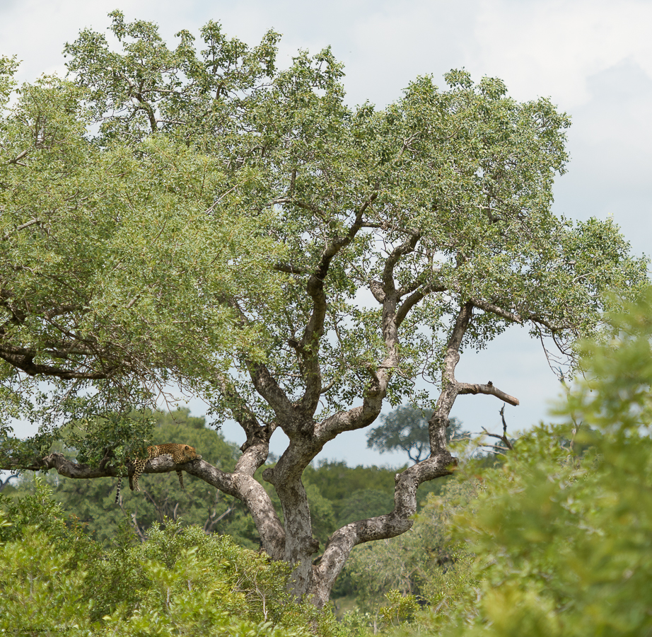 07 - 0222 - Leopard - 03 - Kruger