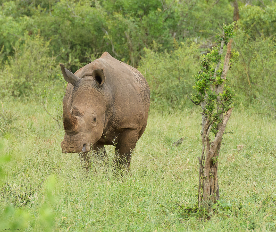 07 - 0222 - Næsehorn - 02 - Kruger