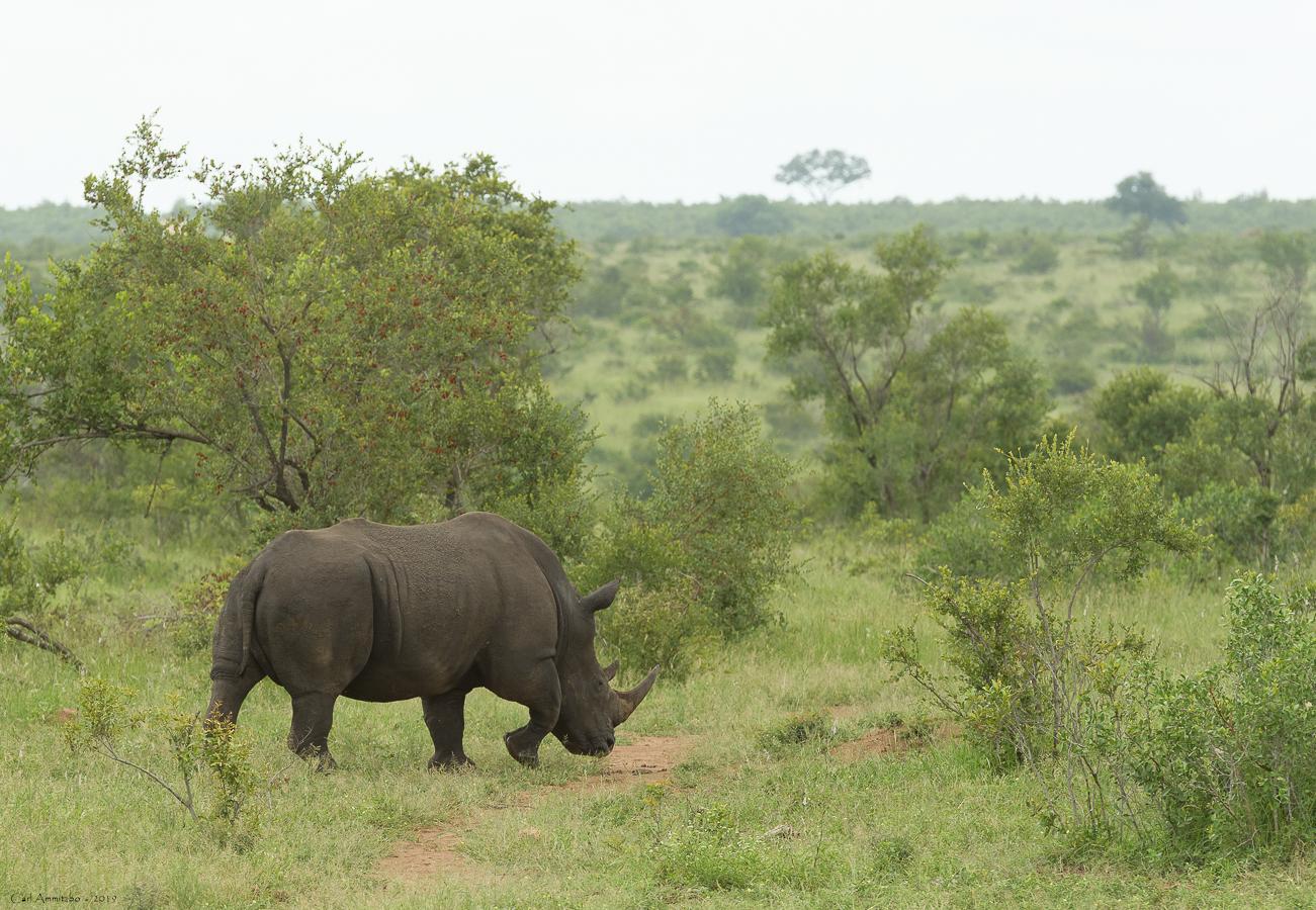 07 - 0222 - Næsehorn - 11 - Kruger