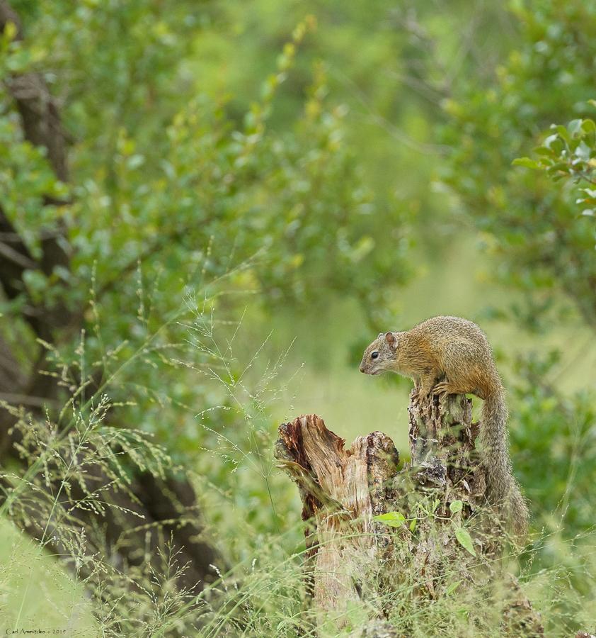 07 - 0222 - Træegern - 01 - Kruger