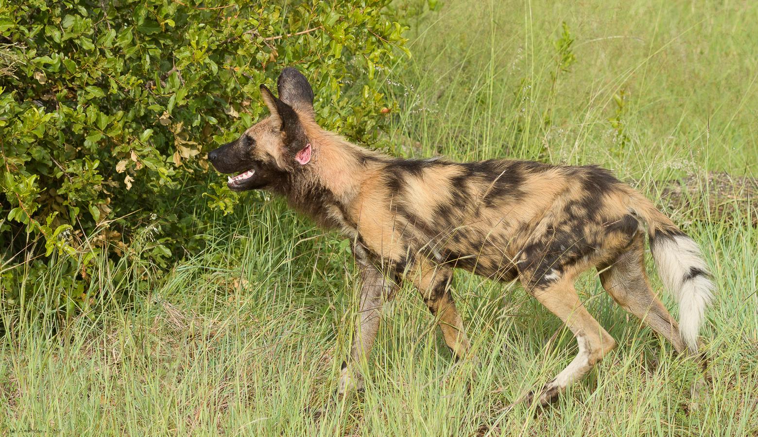07 - 0222 - Vildhund - 01 - Kruger