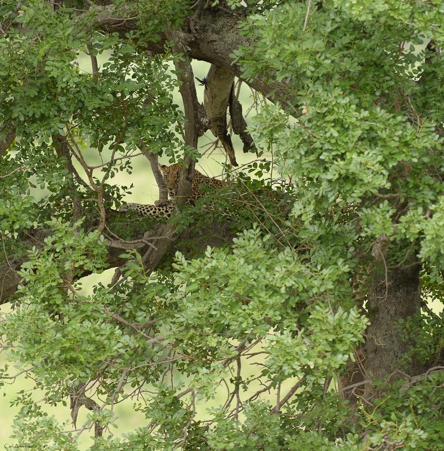 07 - Leopard 2 - 0222 - Leopard - 199 - Kruger Sydafrika