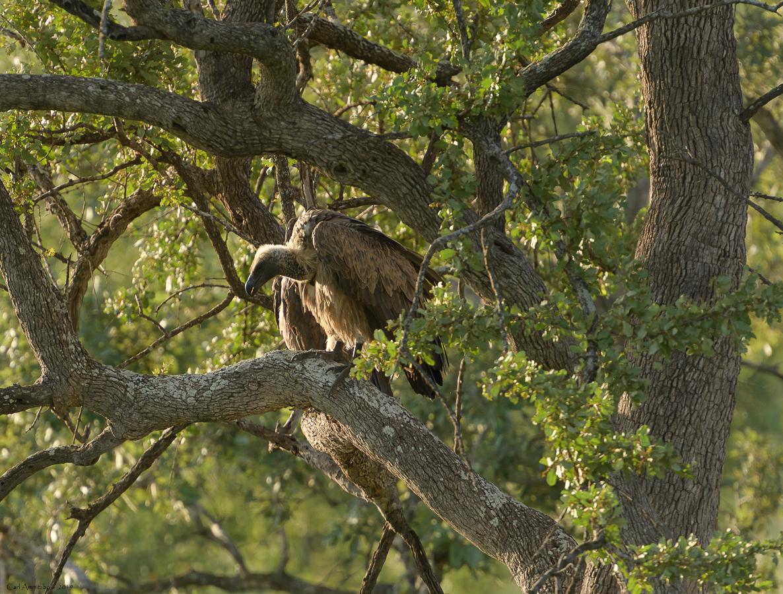 08 - 0217 - Hvidrygget grib - 01 - Kruger