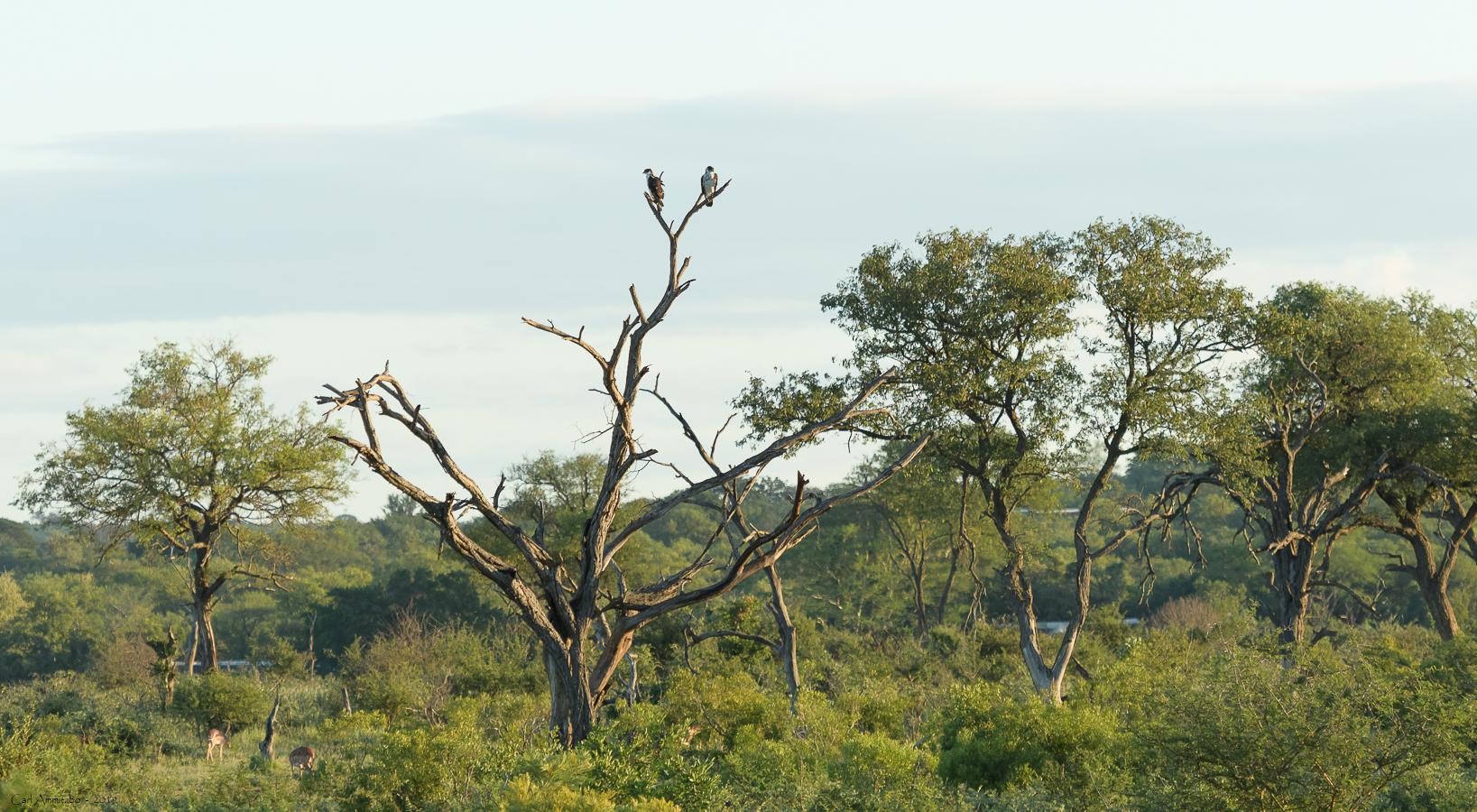 08 - 0218 - Afrikansk høgeørn - 01 - Kruger