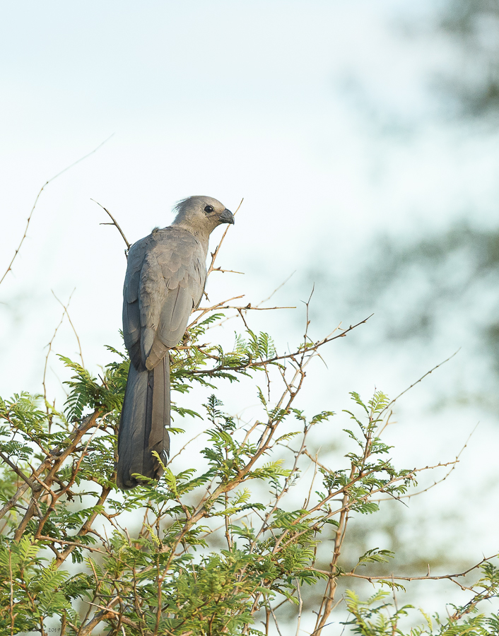 08 - 0218 - Grey go-away-bird - 01 - Kruger