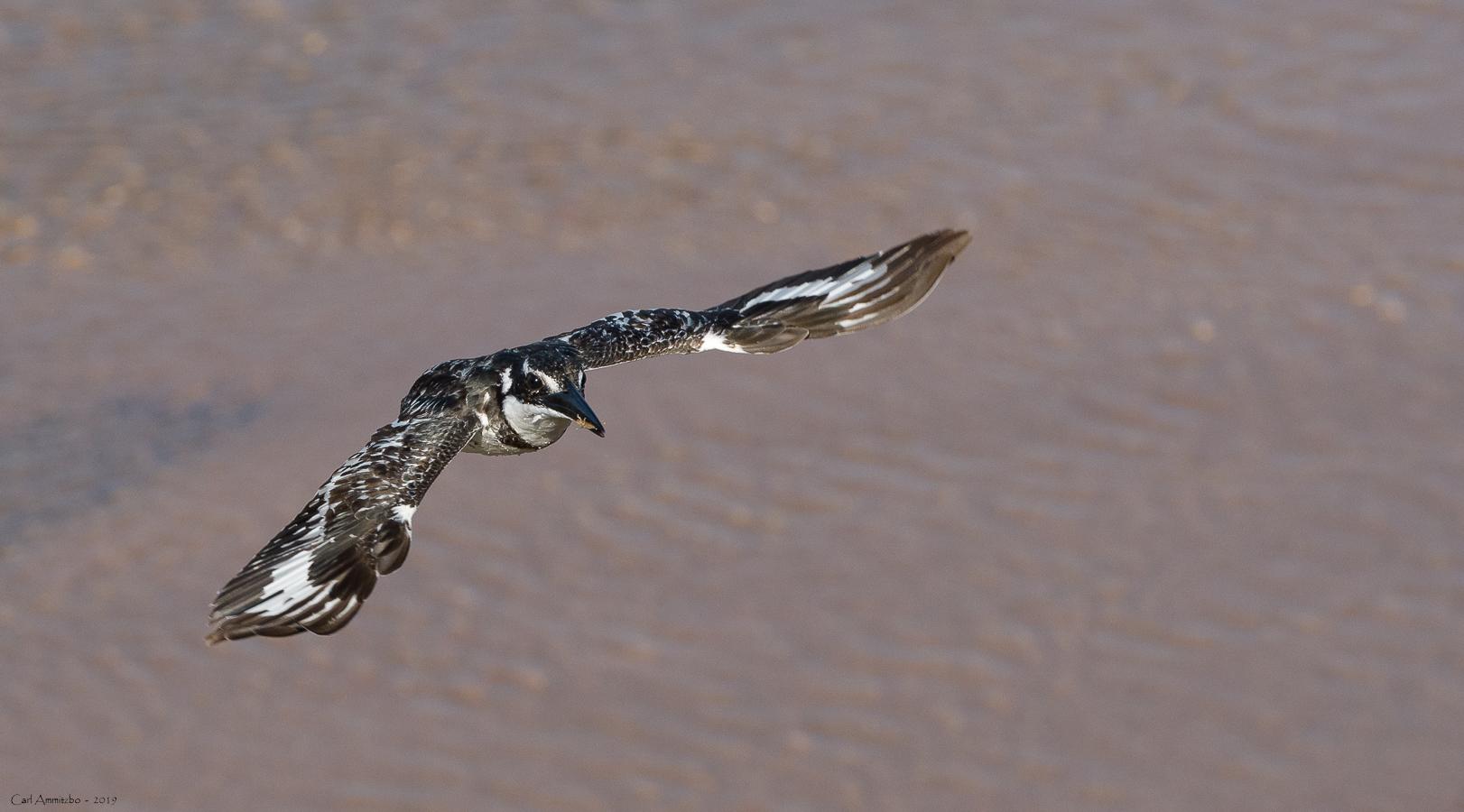 08 - 0221 - Pied Kingfisher - 01 - Kruger