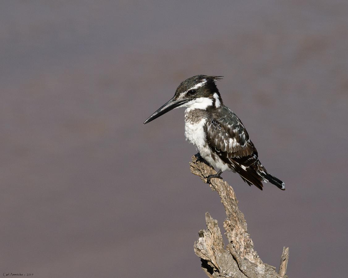 08 - 0221 - Pied Kingfisher - 03 - Kruger