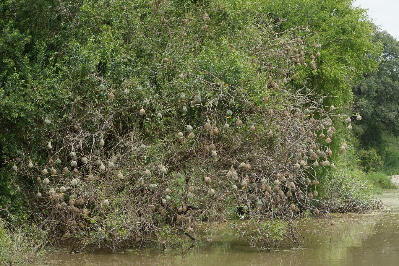 08 - 0221 - Sydlig maskevæver - 01 - Kruger