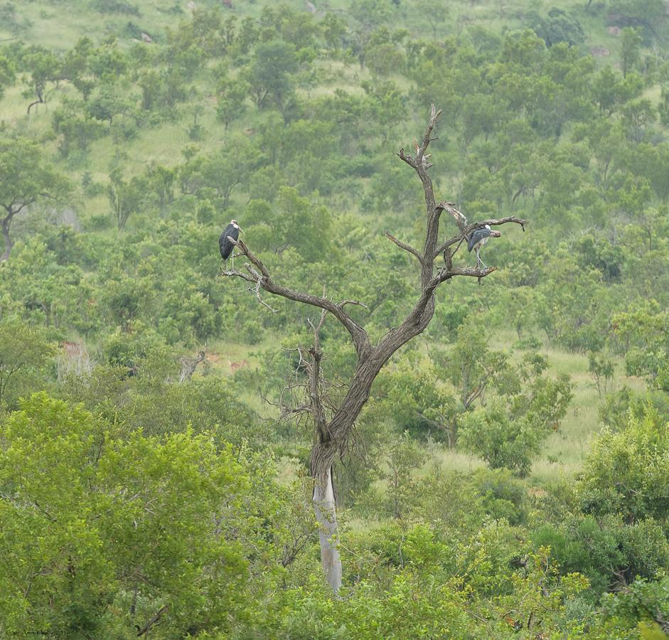 08 - 0222 - Maraboustork - 01 - Kruger