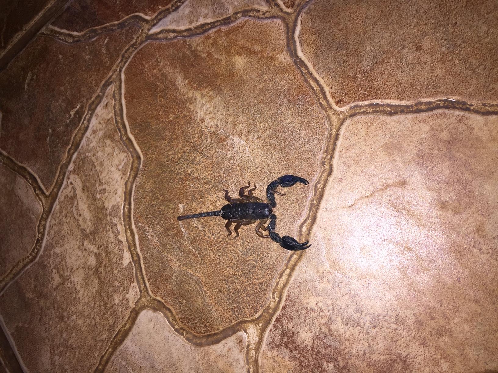 Skorpion i restaurant - Boulders lodge - 21. februar 2019