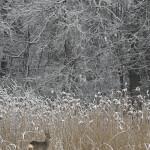 02 - 0308 - Råbuk i sne og siv - 01a - Roskilde - Kopi