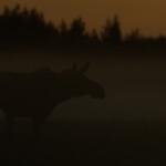 03 - 0609 - Elg i morgendis - 96 - Bergslagen