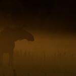 03 - 0609 - Elg i morgendis - 97 - Bergslagen