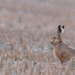 05 - 0314 - Hare i sne - 06 - Roskilde