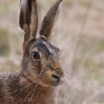 05 - 0326 - Hare - 999a - Roskilde
