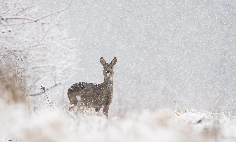 Rå i snevejr