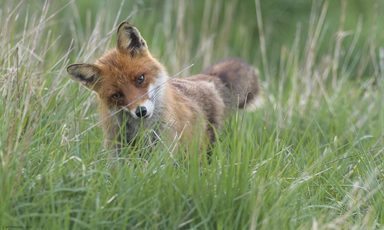Lyttende ræv