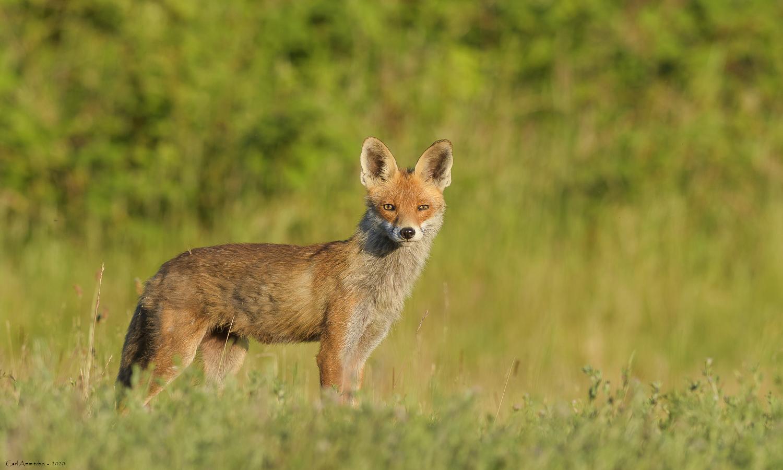 Opmærksom ræv