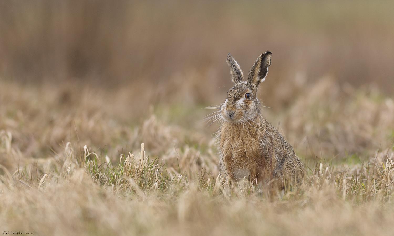 Hare i græs
