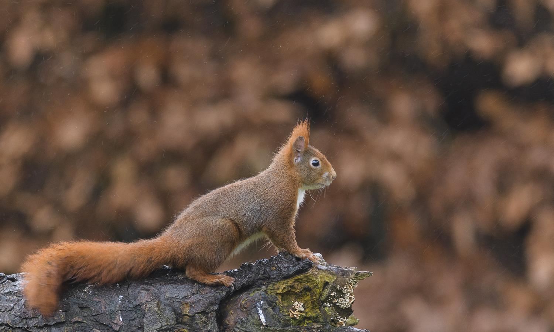 Egern i regnvejr