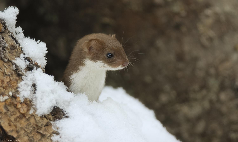 Brud i sne