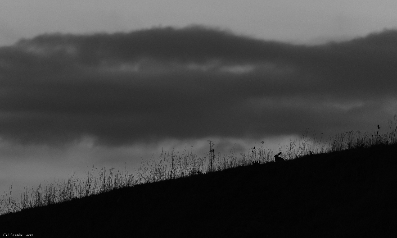 Råbuk i natten