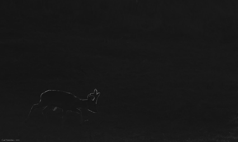 Hare i natten
